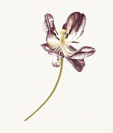 Tulipán muriendo II, 1976, acuarela en vitela